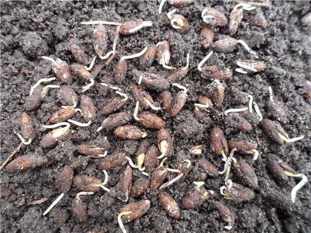 Семена кизила для выращивания