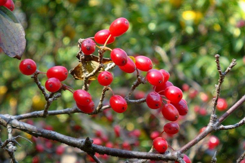 Ветка ягод лекарственного кизила