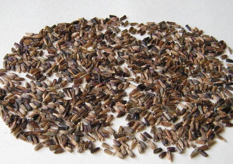 Внешний вид семян черемши