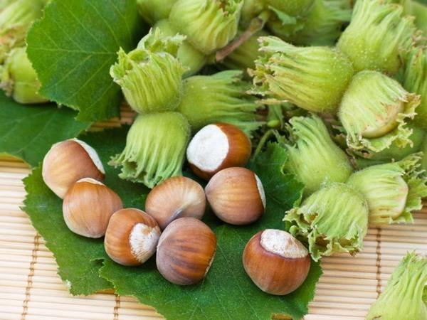 Как вырастить фундук из ореха в домашних условиях