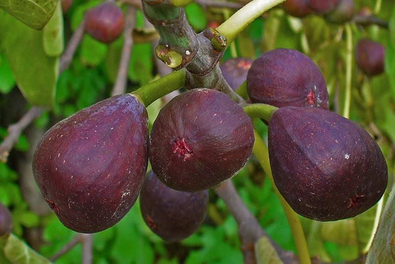 Плоды инжира на ветке