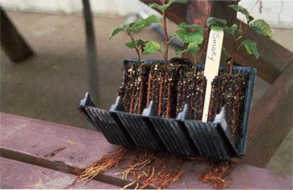 Укоренение черенков растения