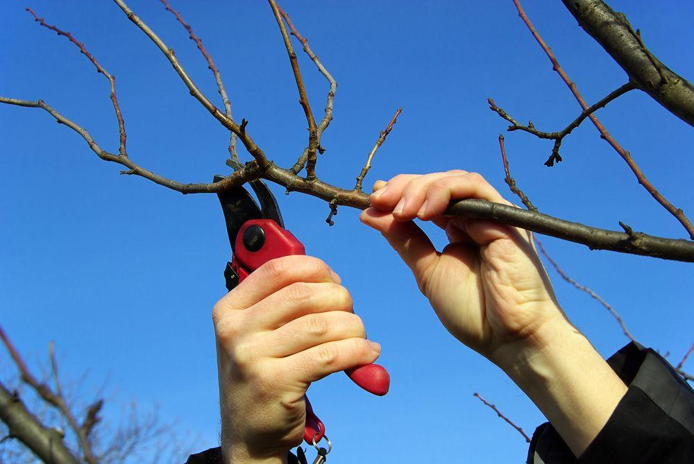 Формирующая обрезка облепихового дерева