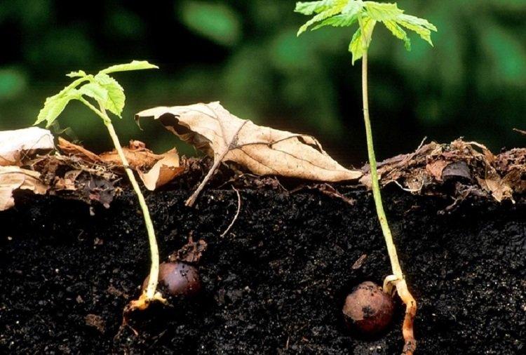 Размножение каштана орехом
