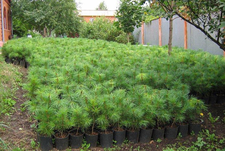 Саженцы кедрового дерева в горшках
