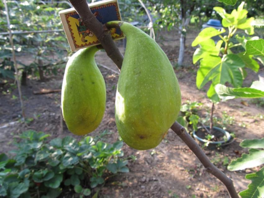 Плоды Далматского инжира