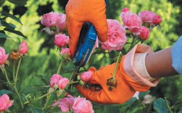 Процесс обрезки роз