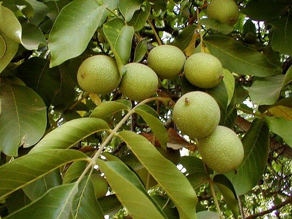 Плоды ореха на дереве