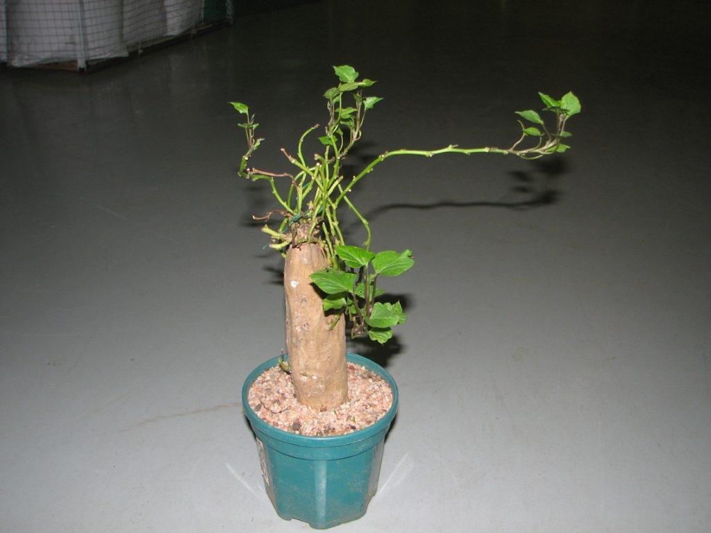 Обрезанное дерево батат