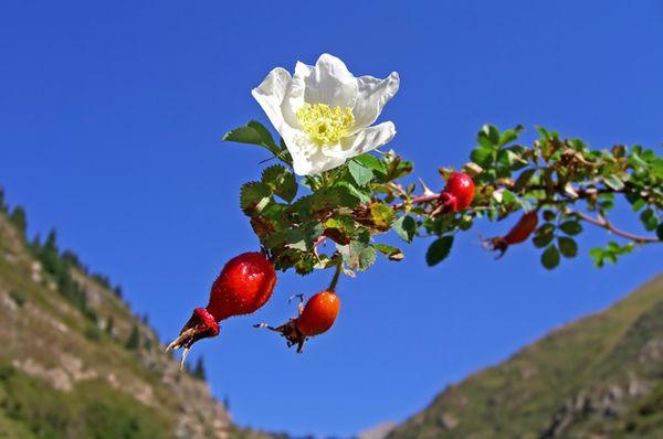 Наиболее часто розу прививают на любой шиповник