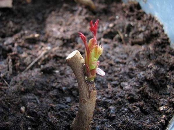 Розы лучше прививать в корневую шейку