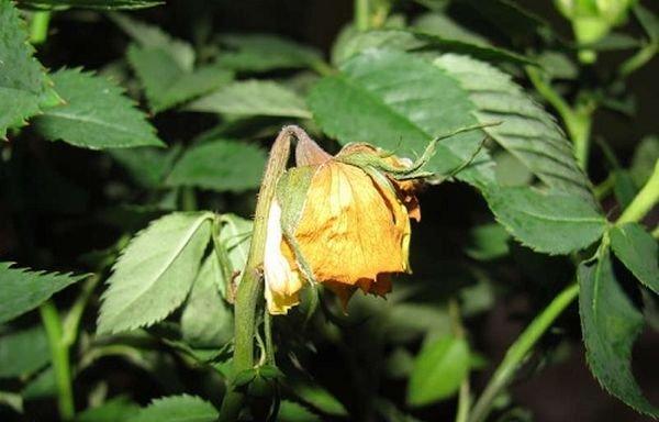 Роза может сбрасывать лисья из-за неправильного ухода