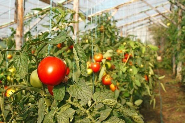 Ранние томаты в теплице