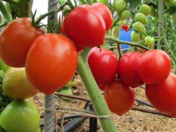 Сорт помидоров Буденовка