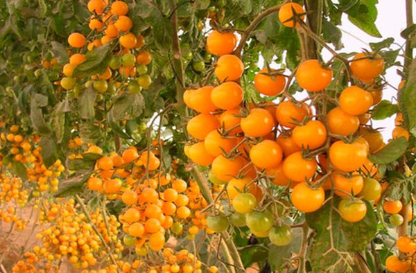 Сорт томатов Желтая вишня