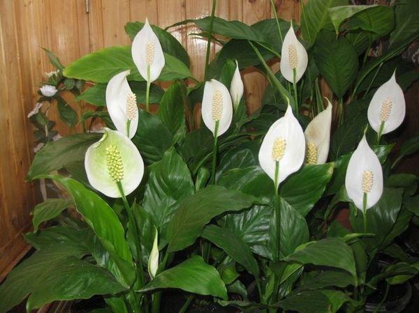 Цветок спатифиллум или флаголист