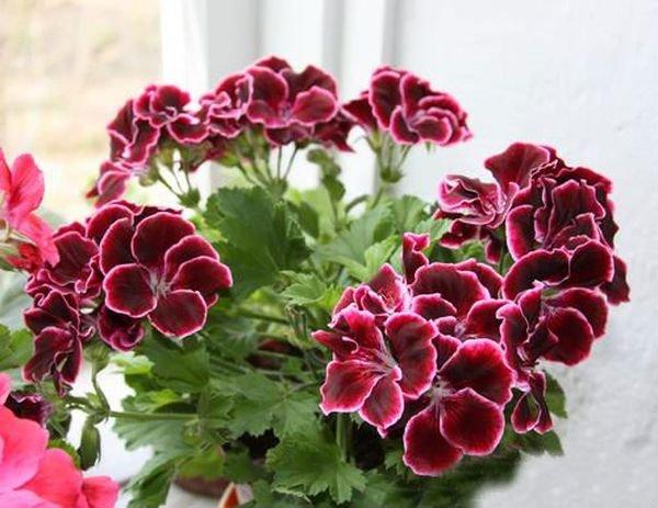 Пеларгония способна выбивать цветы практически круглогодично
