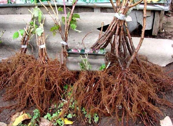Растения со здоровой корневой системой
