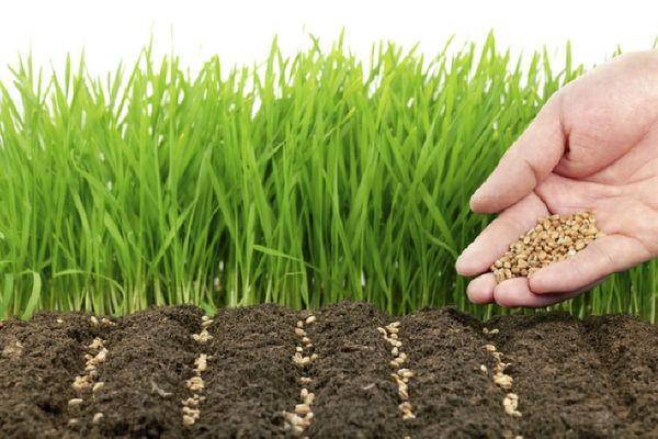 Фацелия  качественный сидерат для огорода