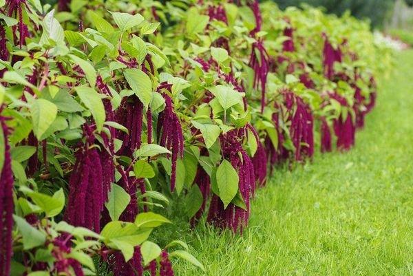Амарантовые – лучшие растения сидераты для огорода