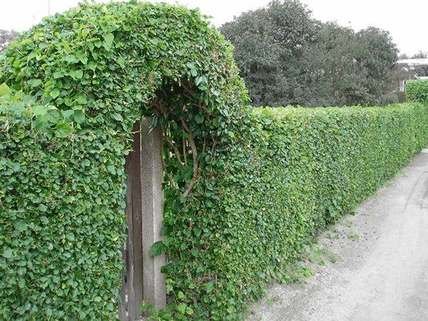 Живая изгородь из боярышника сибирского