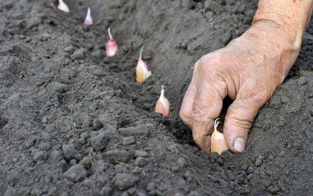 В середине октября посадите лук и чеснок