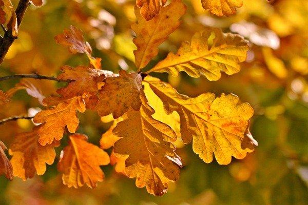 Необходимо присматриваться к тому, как опадают листья с дуба и березы