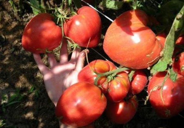 Чудо земли — один из самых вкусных крупноплодных томатов