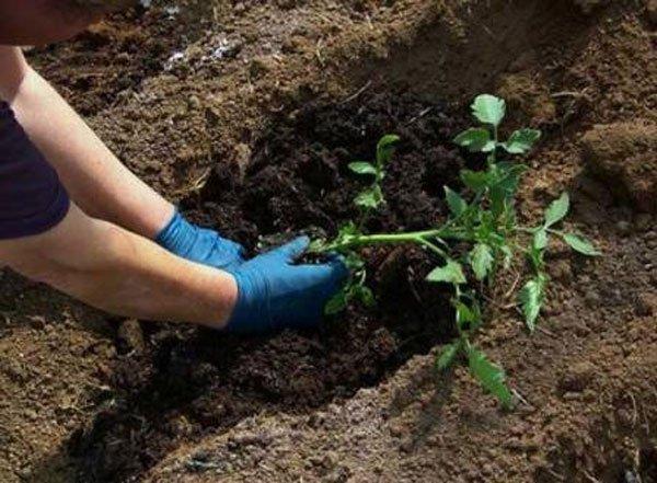 Рекомендованная схема посадки томата 50х60 см