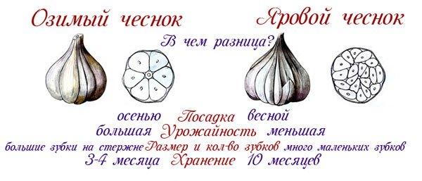 Различия между посадкой чеснока весной и осенью