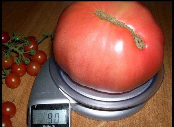 Фото помидора сорта Чудо земли
