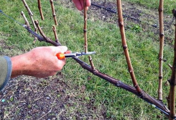 Правильная образка винограда Триумф