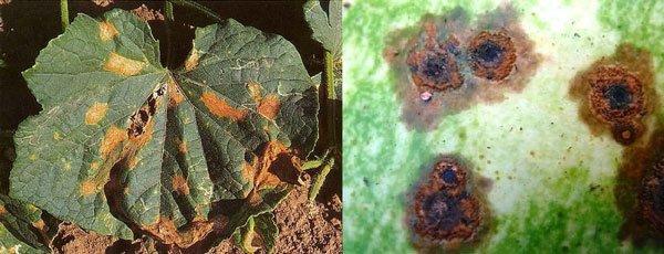 Лист огурца становится дырчатым и растение погибает