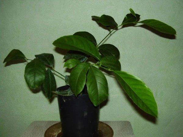 Как выглядит дерево лимона в домашних условиях