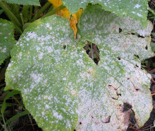 Мучнистая роса на листьях огурца