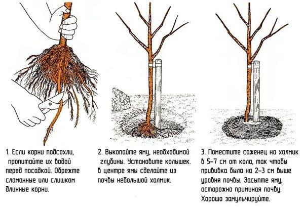 Урожай зависит от правильности посадки абрикоса