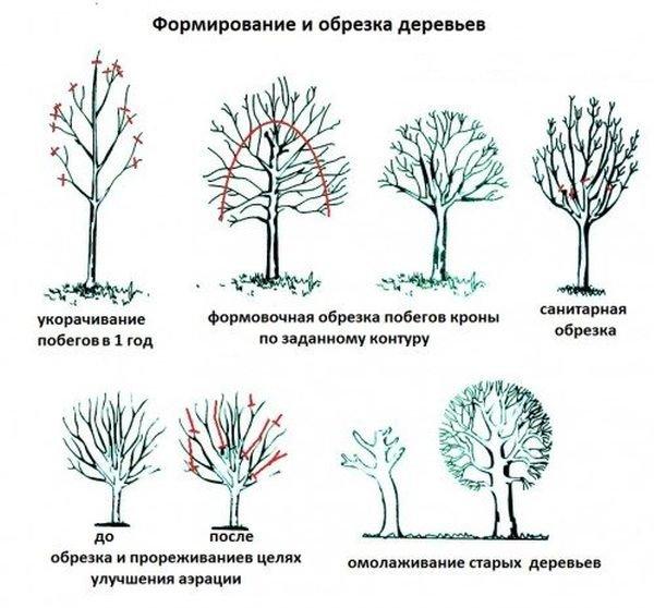 Разновидности обрезки персикового дерева
