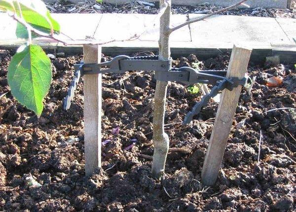 Персик можно сажать весной и осенью