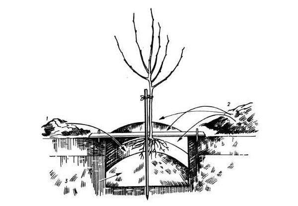 Схема посадки персика осенью