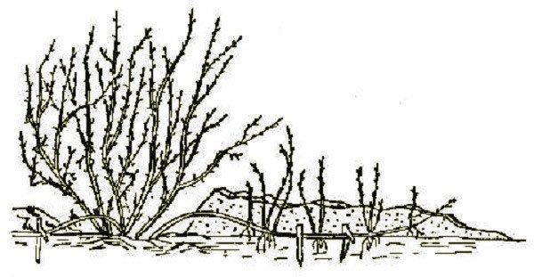 Способ размножения вишни сорта Бессея