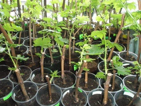 Виноград чаще всего размножают черенками
