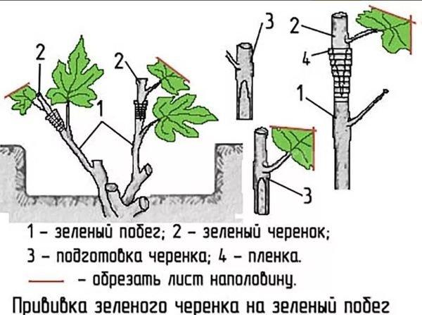 Прививка зеленого черенка на зеленый побег