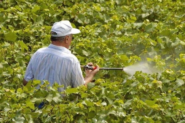 Виноград осенью необходимо обрабатывать