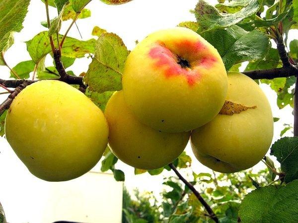 Сорт яблони Антоновка золотая