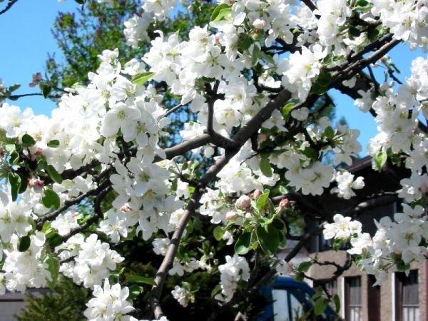 В качестве опылителей могут выступить яблони других сортов