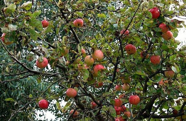 Яблоня Конфетное – мощное, быстрорастущее и высокое дерево
