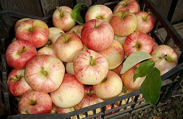 С одного 5-летнего дерева снимается до 50 кг фруктов