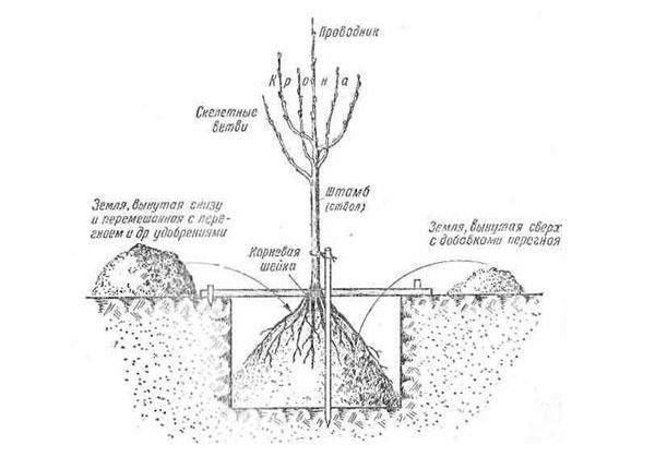 Схема посадки яблони в саду