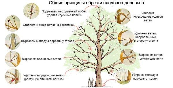 Инструкция по обрезке плодовых деревьев