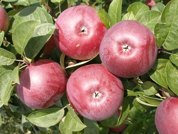 Яблоня Лобо считается высокоперспективным сортом